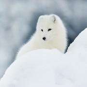 Der Polarfuchs, FjällrävensWappentier