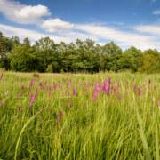 Gladiolenwiese im Daubaner Wald - Foto: Dirk Weis / Biosphärenreservatsverwaltung