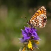 Der Wachtelweizen-Scheckenfalter (Melitaea athalia) steht auf der Roten Liste gefährdeter Arten. Schmetterlinge kämpfen vor allem mit dem Verlust ihrer Lebensräumen und wichtiger Futterpflanzen. Foto: Ralf Donat, Heinz Sielmann Stiftung