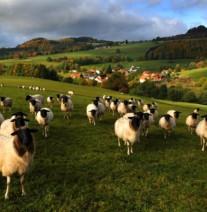 Rhönschafe – Das Symboltier der Rhön zählt zu den ältesten Nutztierrassen - Foto: Biosphärenreservat Rhön, Hessische Verwaltungsstelle